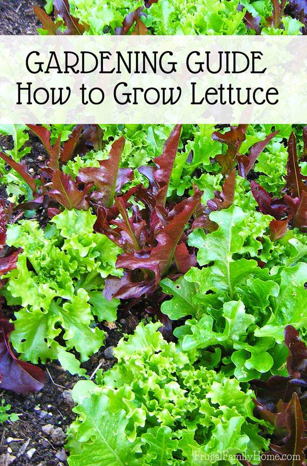 How To Grow And Divide Peonies: Garden Guide, How To Grow Lettuce
